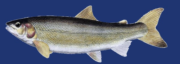 manning fishing - a picture of a mountain whitefish